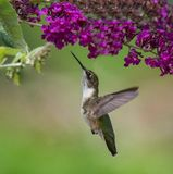 Kolibri på blommor Arkivfoto