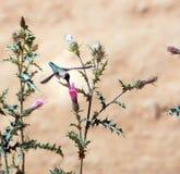 Kolibri på den blommaArizona tisteln (Cirsiumarizonicumen) Bry Fotografering för Bildbyråer