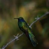 Kolibri på försedd med en hulling - tråd Arkivbilder