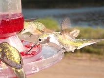 Kolibri på nära övre för förlagematareColorado Rockies Royaltyfri Bild