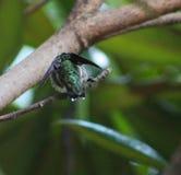Kolibri - som Batman Royaltyfria Bilder