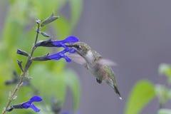 Kolibri som matar i trädgården royaltyfria foton