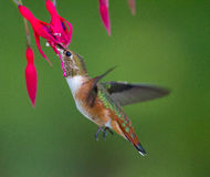 Kolibri som matar på en blomma Arkivbild