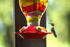 Kolibri som sätta sig på nektarförlagematare Arkivfoton