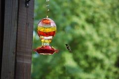 Kolibri som söker för nektar Arkivbilder