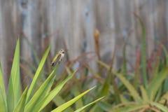 Kolibri som sitter på ett agaveblad royaltyfri foto