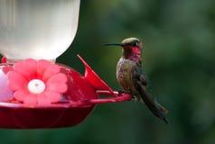 Kolibri som vilar II Royaltyfria Foton