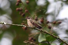 Kolibri som vilar på en filial royaltyfri bild