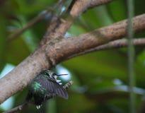 Kolibri - till slagträgrottan Royaltyfri Foto
