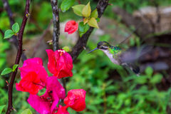 Kolibri vid en färgrik blomma arkivbild