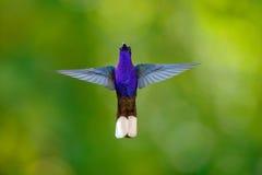 Kolibri Violet Sabrewing, Campylopterus hemileucurus som flyger i den tropiska skogen, La Paz, Costa Rica Royaltyfri Bild