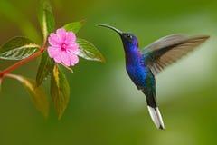 Kolibri-Violet Sabrewing-Fliegen nahe bei schöner rosa Blume Lizenzfreie Stockfotos