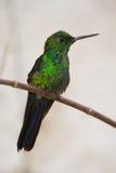 Kolibri von Costa Rica stockfotos