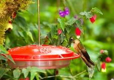 Kolibri-Zufuhr-Gerät lizenzfreie stockfotos