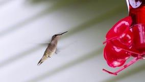 Kolibridrinkar på förlagemataren arkivfilmer