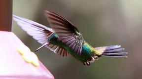 Kolibrie 07 Royalty-vrije Stock Foto