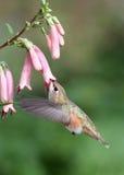 Kolibrie Royalty-vrije Stock Foto's