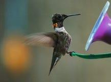 Kolibrie 2 Stock Foto's