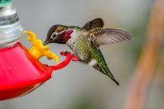 Kolibrie Stock Foto
