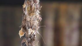 Kolibrie stock videobeelden