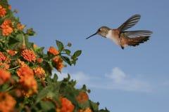 Kolibrie stock afbeelding