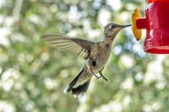 kolibrie Royalty-vrije Stock Foto