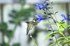 Kolibrie Royalty-vrije Stock Afbeelding
