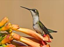 Kolibrie & Bloem royalty-vrije stock afbeelding