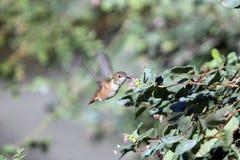 Kolibrie in BC Royalty-vrije Stock Foto