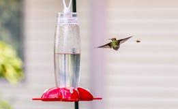 Kolibrie & Bij Royalty-vrije Stock Foto's