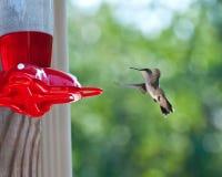 Kolibrie bij de Voeder Stock Foto