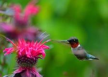 Kolibrie bij monarda Stock Fotografie