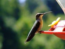 Kolibrie bij Voeder royalty-vrije stock afbeeldingen