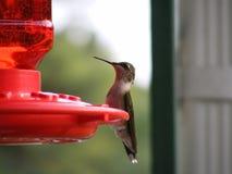 Kolibrie bij Voeder Stock Foto