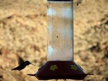 Kolibrie bij Voeder Royalty-vrije Stock Fotografie