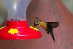 Kolibrie bij Voeder Stock Afbeelding