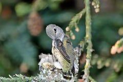 Kolibrie Chick Preening Wings royalty-vrije stock afbeeldingen