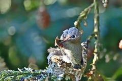 Kolibrie Chick Preening Wings royalty-vrije stock fotografie