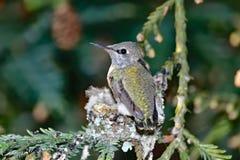 Kolibrie Chick Preening Wings stock fotografie