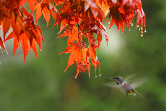 Kolibrie in de regen royalty-vrije stock fotografie