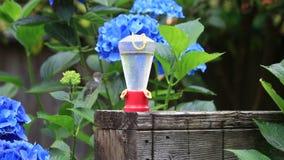 Kolibrie die aan en van voeder vliegen drinken stock videobeelden