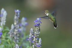 Kolibrie die dichtbij de Blauwe Salie vliegen royalty-vrije stock foto