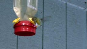 Kolibrie die herhaaldelijk van het hangen van voeder met duidelijke nector eten stock videobeelden