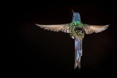 Kolibrie die - met zwarte achtergrond vliegen royalty-vrije stock foto