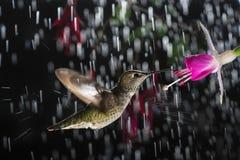 Kolibrie die in regen met plons hangen Stock Fotografie