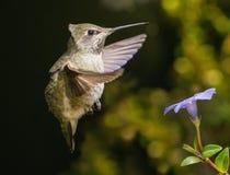 Kolibrie die in sterke wind hangen Royalty-vrije Stock Foto