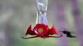 Kolibrie die suikerwater van de voeder eten stock videobeelden
