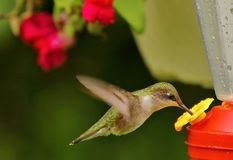 Kolibrie die van de nectar genieten royalty-vrije stock fotografie