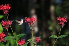 Kolibrie en Bijenbalsem Royalty-vrije Stock Foto's