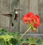 Kolibrie en Bloem royalty-vrije stock afbeelding